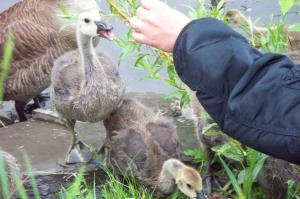Baby Geese 3