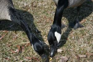 Geese Eating